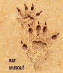 empreintes de rat musqué