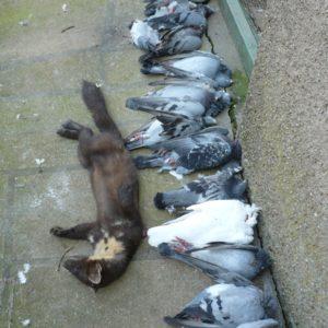 Dégats sur pigeons voyageurs
